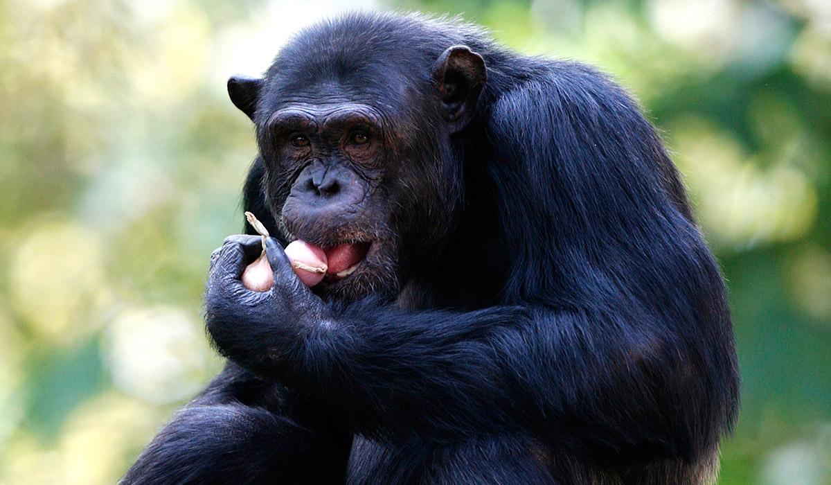 C For Chimpanzee Professor Proposes Usi...