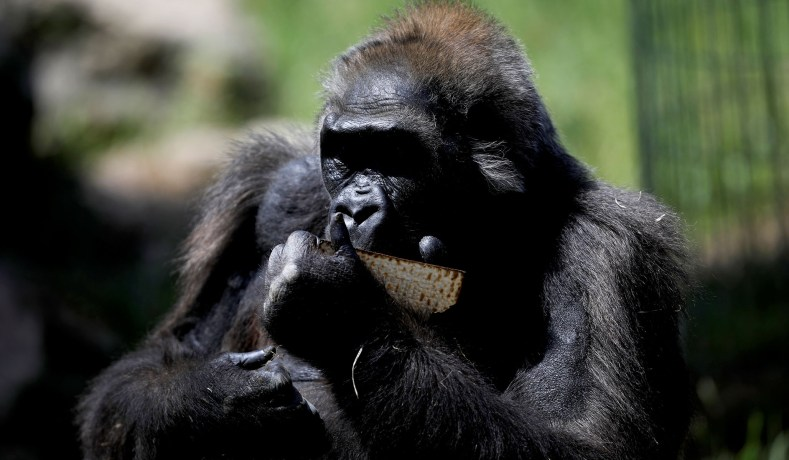 Chimpanzee Liberation? Why Animal Rights and Human Rights Cannot Coexist