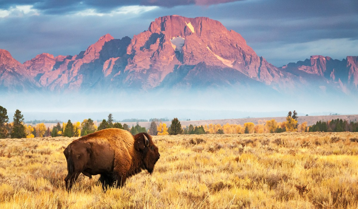 Bring Back the Bison | National Review