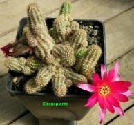 echinopsis-chamaecereus-x-lobivia-co1