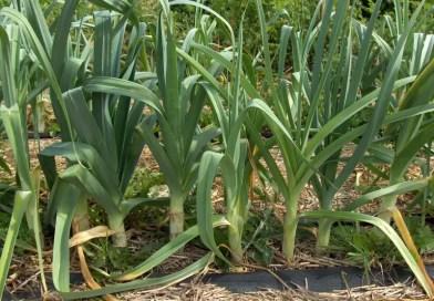 L'orto biologico un obbligo per l'autoproduzione.