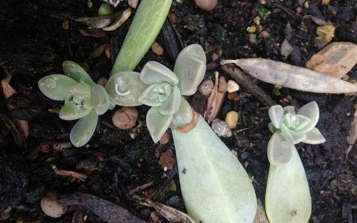 Talea di foglia nelle succulente