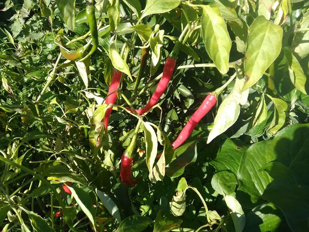 Peperoncino Cayenna ultimo raccolto e potatura