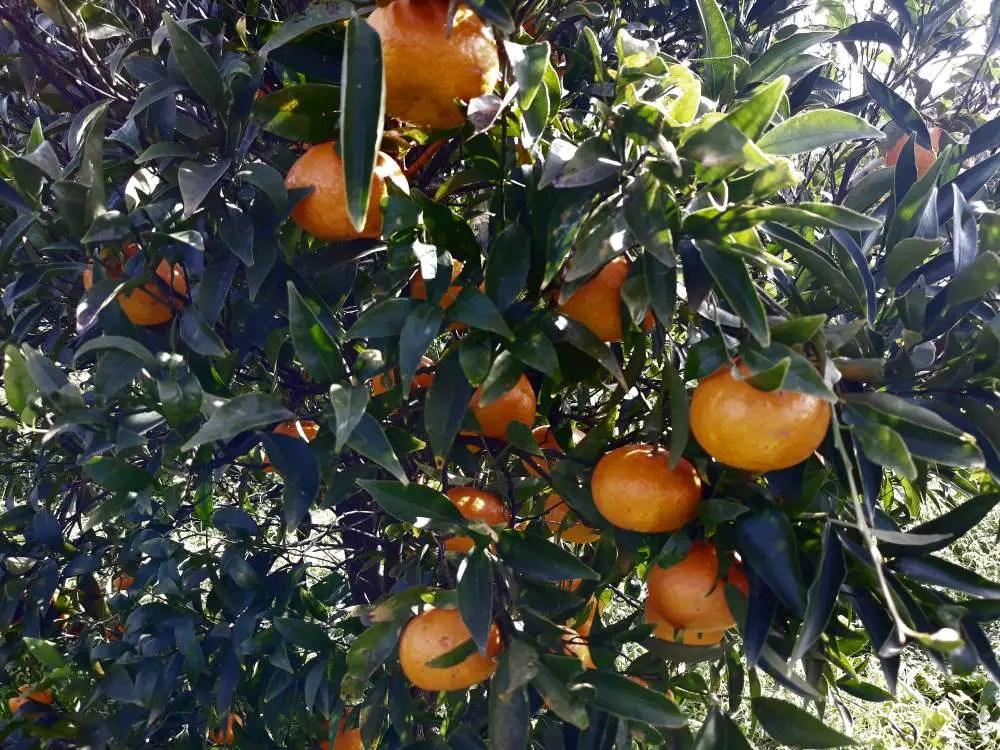 Il mandarino tardivo palermitano, meglio conosciuto come di Ciaculli