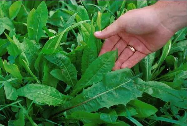 La Cicoria, verdura invernale ricca di proprietà