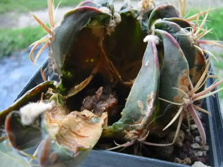 Parassiti e malattie delle piante grasse