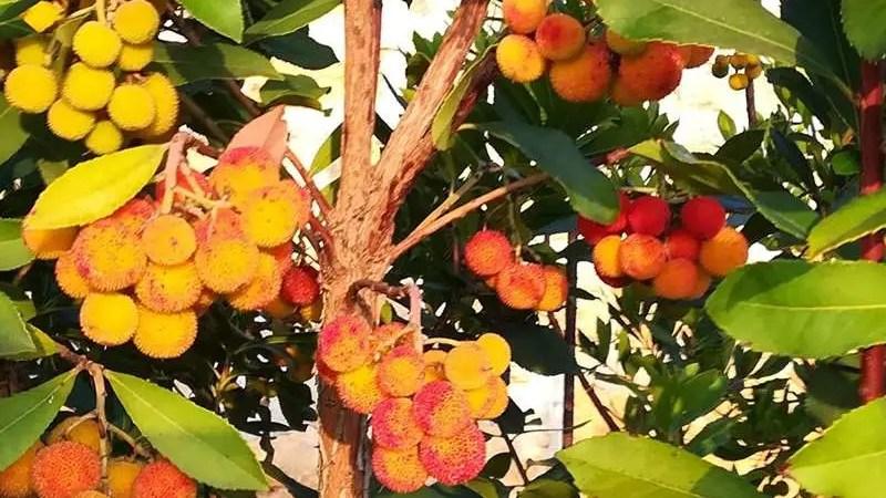 Il corbezzolo, frutto mediterraneo poco conosciuto