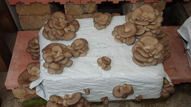 Avere funghi freschi in casa con le balle già pronte
