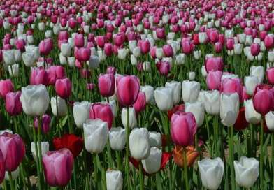 Ottobre e novembre: il momento di piantare i tulipani