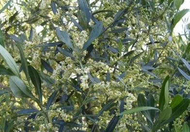 La concimazione nelle piccole coltivazioni di Ulivo