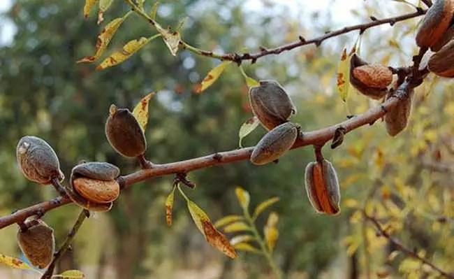 Mandorli gratis per aiutare giovani agricoltori ad Alia (Pa)