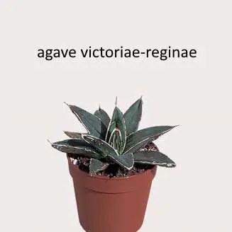L'Agave victoriae-reginae T. Moore