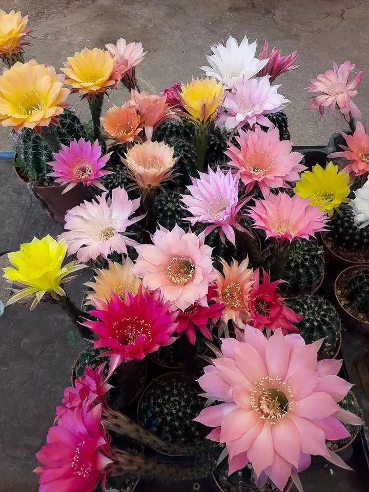 Echinopsis ibridi dai fiori di diverso colore