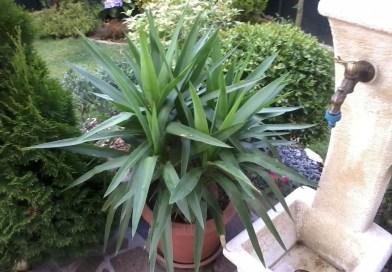 Il tronchetto della felicità la pianta perfetta per ogni appartamento
