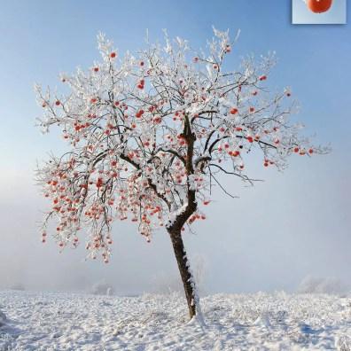 Albero di Cachi in Piemonte - Foto di Enzo Isaia