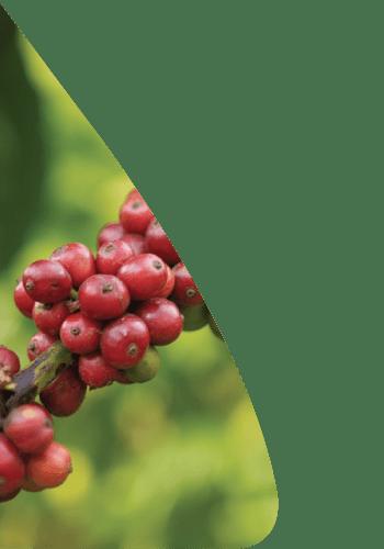 Spécialiste de café de spécialité colombien