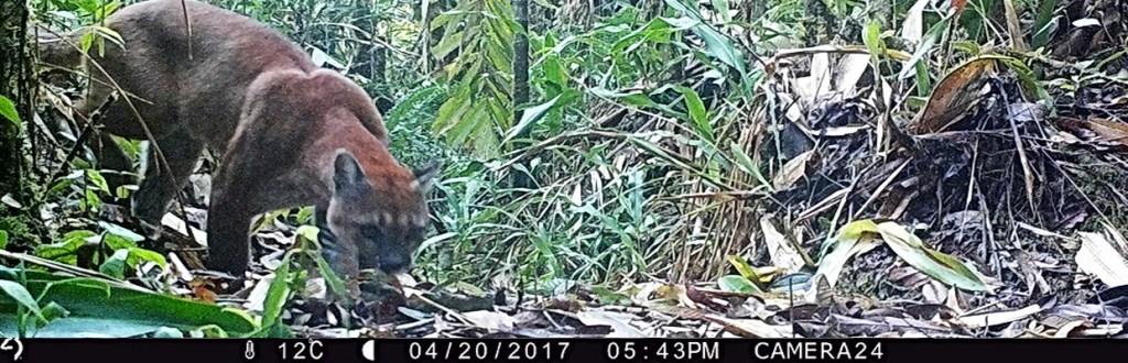 Caméra piège café puma