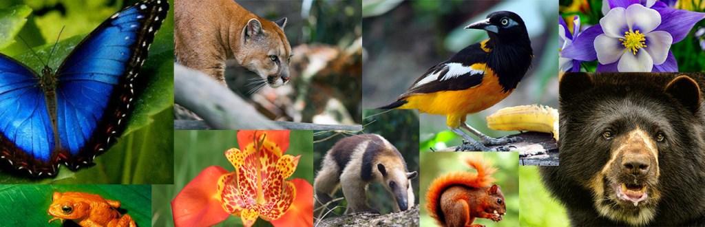 Biodiversité colombie café. Puma papillon bleu d'Amazonie, fleures, ours...