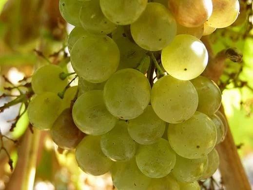 monodiète de raisin