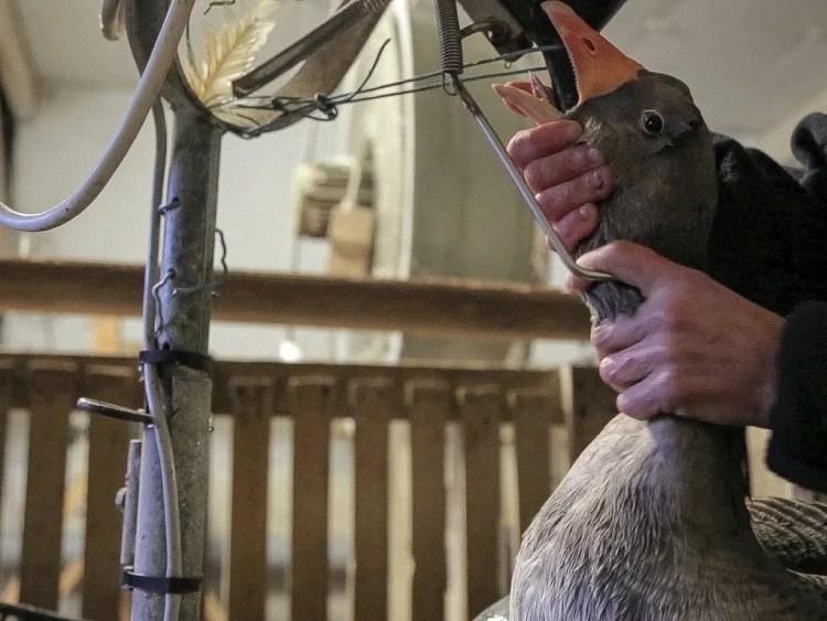 Production de foie gras par gavage