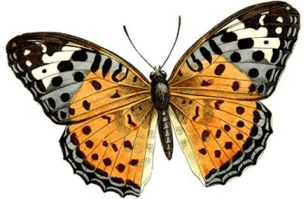 Farfalla, lepidotteri e farfalle