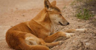 cani del deserto dingo