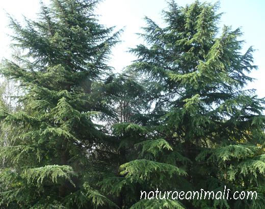 Alberi le specie sulla terra natura e animali for Nomi di alberi sempreverdi