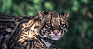 foreste pluviali animali ocelot