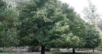 castagno albero