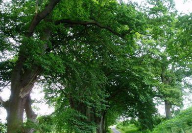 Il Faggio, pianta ornamentale
