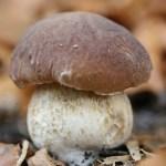Funghi, commestibili e velenosi