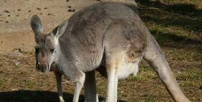 Il canguro, affascinante marsupiale