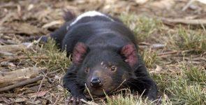 Diavolo della Tasmania, piccolo e carino: animali da salvare