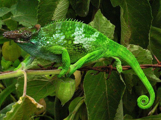 camouflage in natura camaleonte