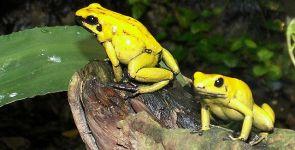 Anfibi, la rana più velenosa della Terra