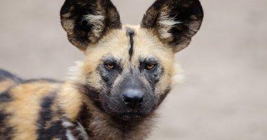 Il licaone, il cane selvatico subsahariano