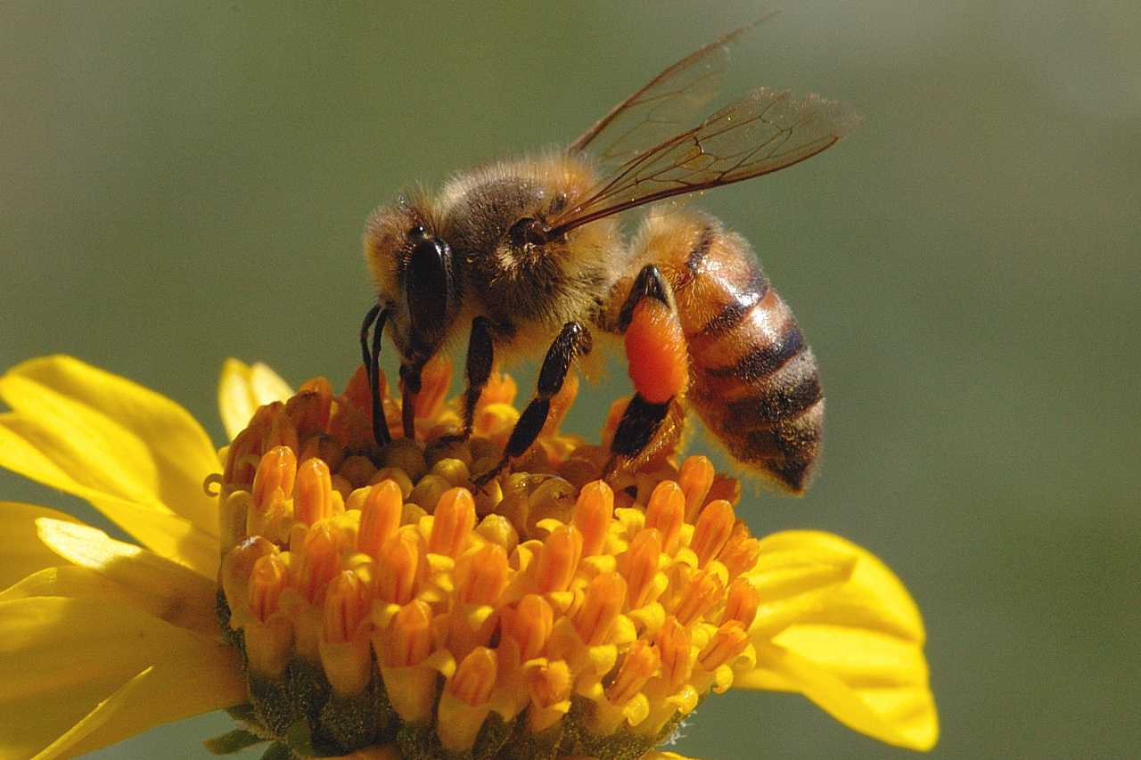 As we all know, it is the honey <b>bees</b> that produce honey, but there are ...