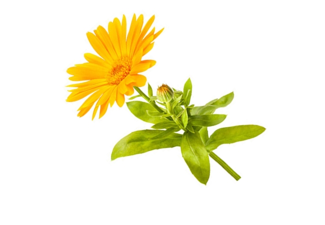 Arrest Pruritus With Calendula