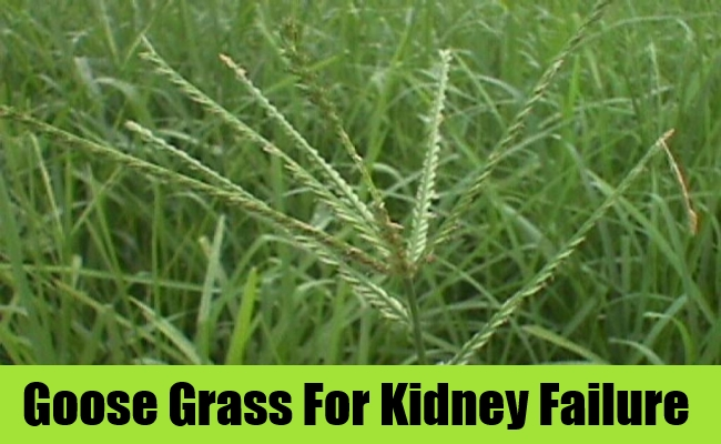 Goose Grass For Kidney Failure