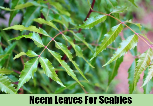 Neem Leaves For Scabies