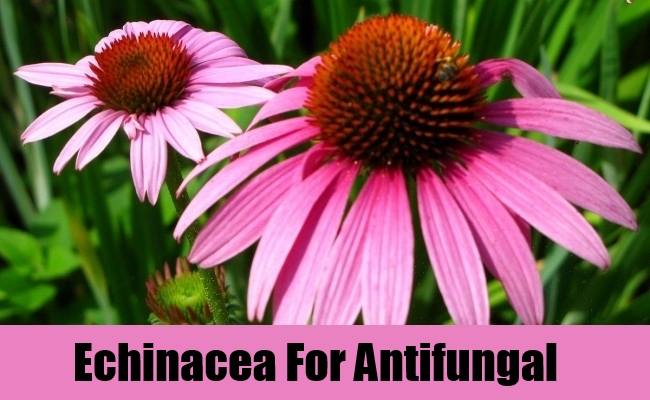 Echinacea For Antifungal