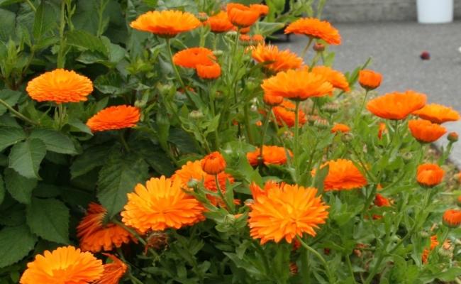 Calendula Plant
