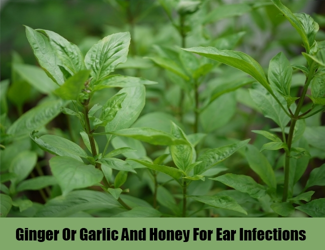 Holy basil leaves For Ear Infections