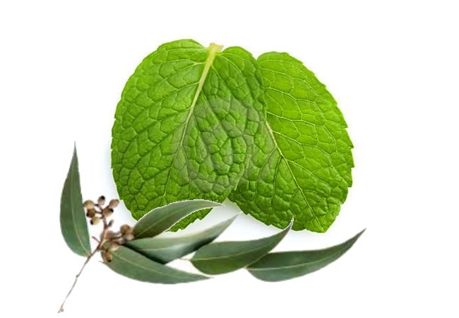 Eucalyptus And Mint Leaves