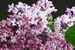 La romantica Serenella ha poche esigenze colturali ed ambientali: come coltivare il Lillà, storia, curiosità, specie e varietà più belle di Syringa spp..
