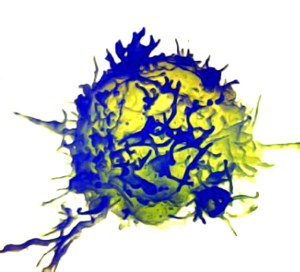 T-cell (lymphocyte)