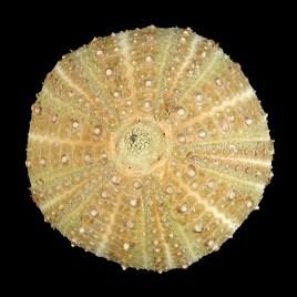 Gracilechinus acutus norvegicus