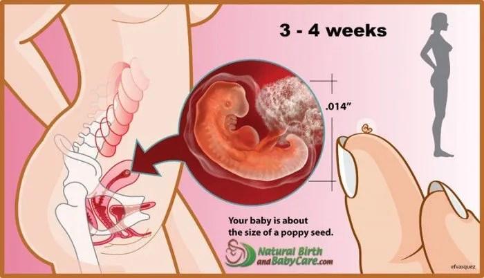 3-4-weeks-fetus_5-6-week-pregnancy