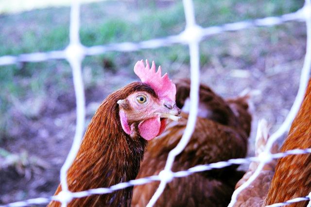 USDA Kills Animal Welfare Rule Angering Organic Farmers and Advocates
