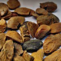 Akuamma Seeds (Picralima nitida)